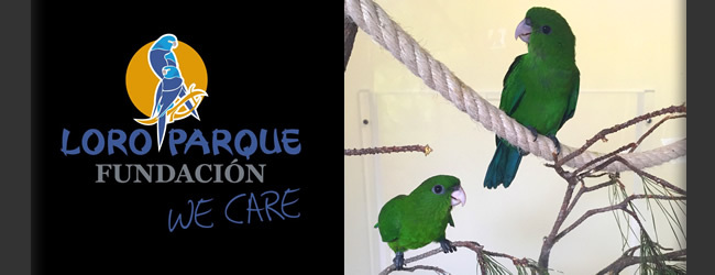 LPF News June 2016: Rare Purple-bellied Parrots bred at Loro Parque