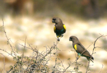 Successful breeding of the Meyer's Parrot. PART II
