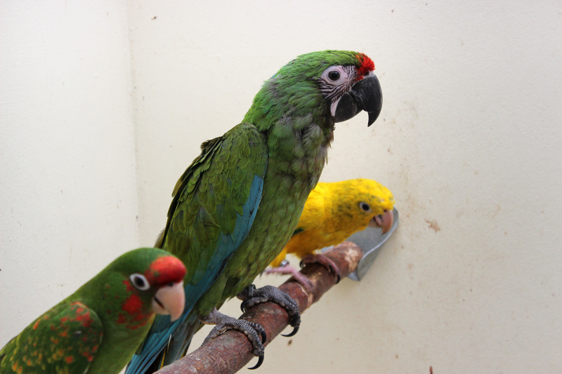 Offspring of Mitred Conure, Military Macaw and Golden Conure