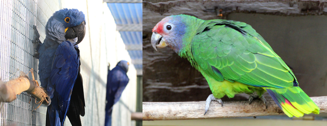 Numbers of CITES I parrot species in the Czech Republic: 145 Hyacinth Macaws, 93 Red-tailed Amazons, …