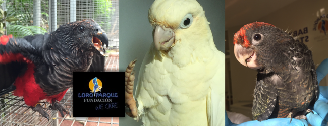 Highlights of Loro Parque breeding season 2016: Gang-gang Cockatoo, Pesquet's Parrots and Red-vented Cockatoos