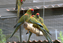 "Q & A: ""Which parrots are better to keep in a group than in pairs?"""