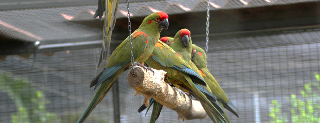"""Q & A: """"Which parrots are better to keep in a group than in pairs?"""""""
