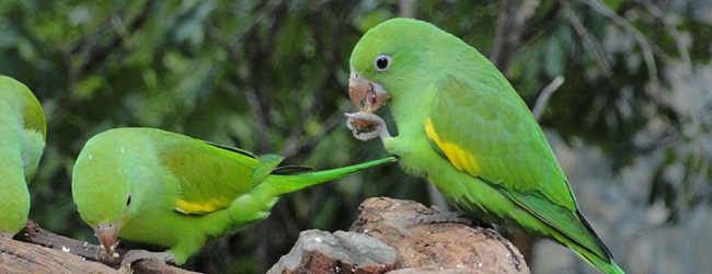 "Q & A: ""What are the most important aspects of Brotogeris parrots breeding?"""