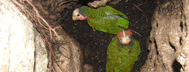 Bahamian subspecies of the Cuban Amazon nesting in the ground