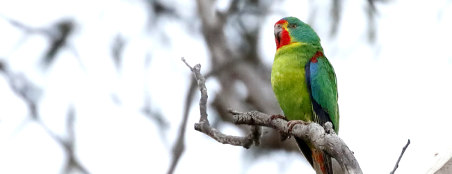Private breeders started a breeding project for the Swift Parrot (Lathamus discolor)