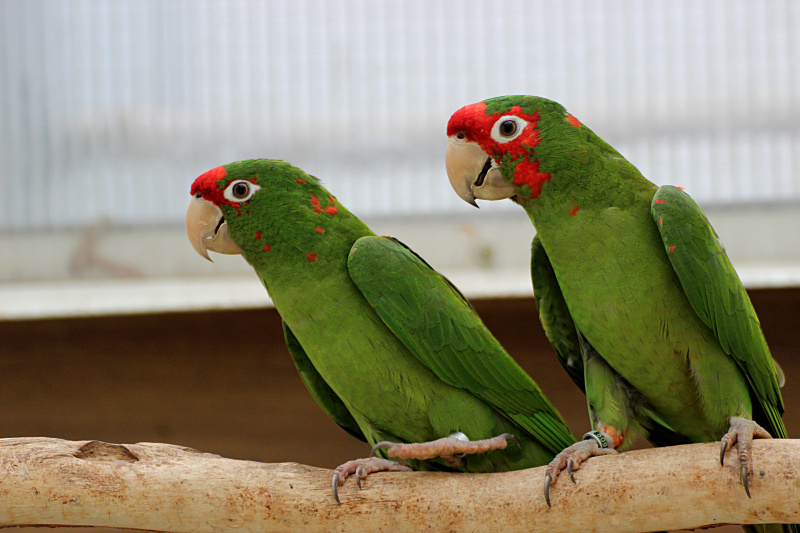 Mitred Conure breeding pair