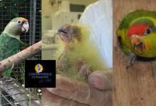 The first hatching of Tasmanian Black Cockatoo (Zanda funerea xanthonota) in Europe officially