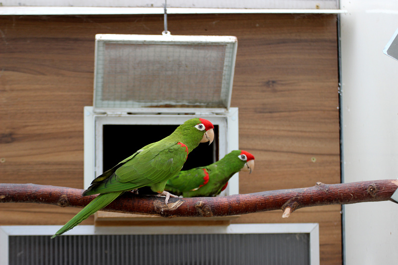Red-fronted Conure breeding pair