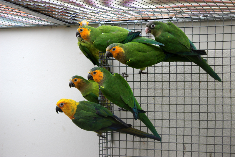 Young Jenday Conure, Brown-throated Conures and Cactus Conure