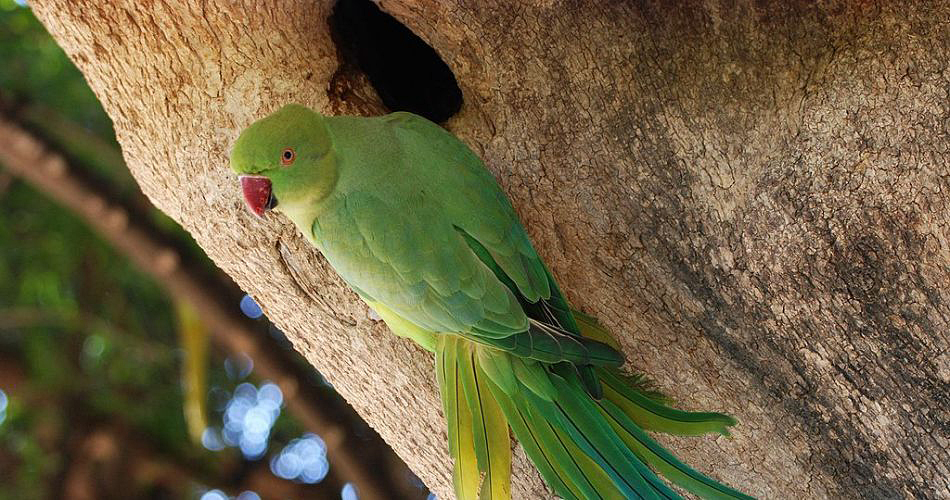 How many clutches per year can a pair of parrots produce?