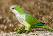 Madrid faces invasion of Quaker Parrots, there are more than 20 000 birds in the whole Spain