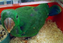 "Q & A: ""When should parrot chicks be taken for hand-rearing?"""
