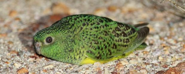 New population of the endangered Night Parrot was found in Queensland, Australia