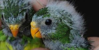 Orange-bellied parrots at the very edge of extinction: only 4 females and 11 males have survived last winter