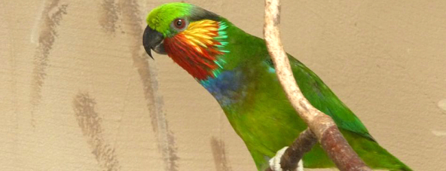 Prague ZOO has raised four Edward's Fig Parrots