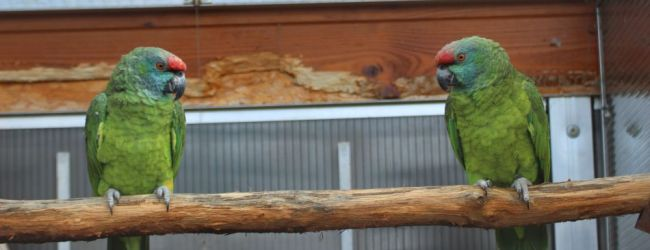 "Q & A: ""How to prevent obesity in amazon parrots?"""