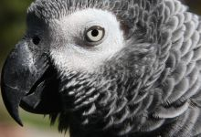African Grey Parrot in CITES I: breeders will not be allowed to sell offspring of birds of unknown origin