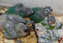 Basic principals of parrot handfeeding