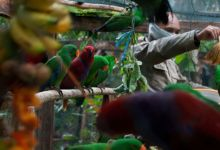 Over a hundred of confiscated Umbrella Cockatoos, Yellow-backed Lories and Eclectus parrots have been returned to the wild