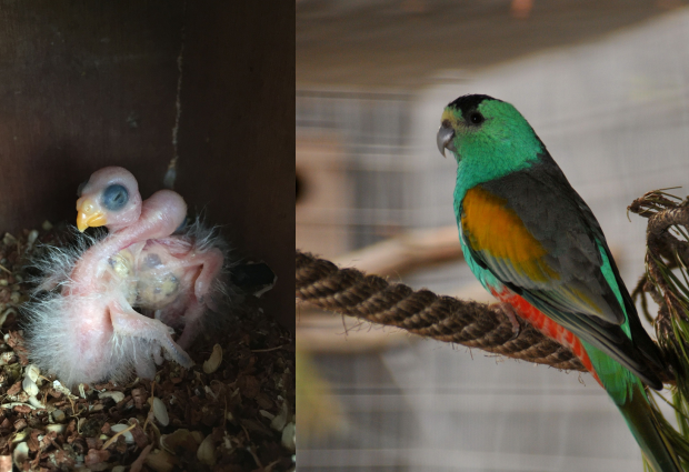 Successful breeding of the Golden-shouldered Parrot at Loro Parque Fundación