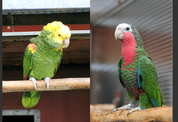 CITES statistics in the Czech Republic: Cuban and Double-yellow headed Amazons have increased in number