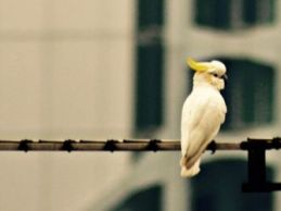 Critically endangered Yellow-crested Cockatoos nest in Hong Kong among skyscrapers