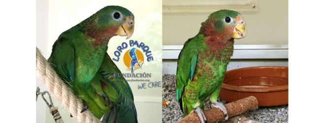The breeding of the Amazona collaria at Loro Parque Fundación