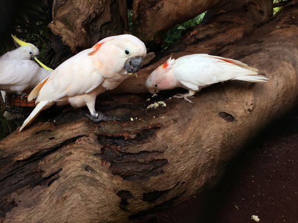 Weaned Cockatoo babies (c) Rafael Zamora Padron