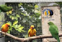 Parrot Fostering in Loro Parque Fundación