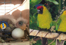 New Caledonian Horned Parakeet bred at LPF