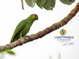 Action in Ecuador for the rare Lilacine Amazon