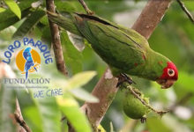 Sensational reintroduction of the Red-masked Parakeets