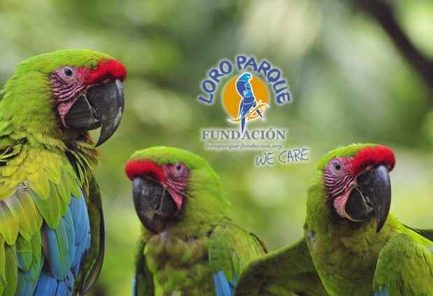 Loro Parque Fundación supports genetic profiling of Great Green Macaws in Costa Rica