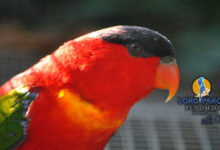 Breeding of the Purple-naped Lory (Lorius domicella)