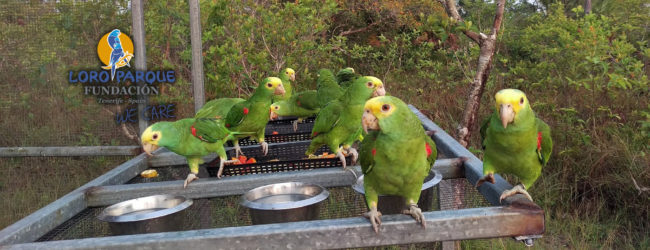 Monitoring, protection, rescue and release help the Yellow-headed Parrots of Belize
