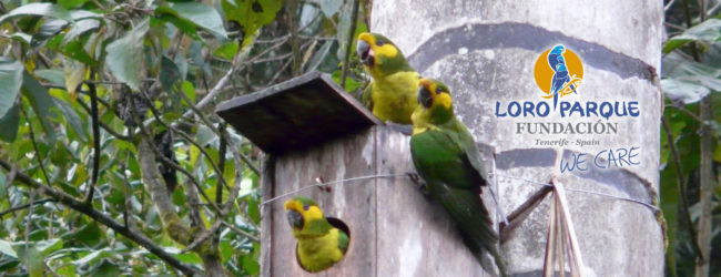 """The 20th Anniversary of """"Proyecto Ognorhynchus"""":  Back from the abyss, the Yellow-eared Parrot unites a nation"""