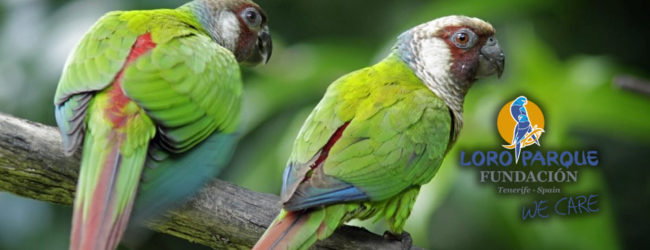 Nest-box revolution for wild Grey-breasted Parakeets