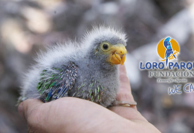 Swift Parrot decline in Hobart substantiates gloomy predictions for the species