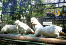 Another landmark event for Philippine Cockatoo conservation
