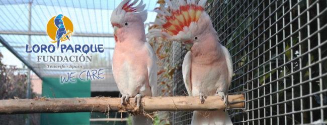 Beginning of preparation in parrots
