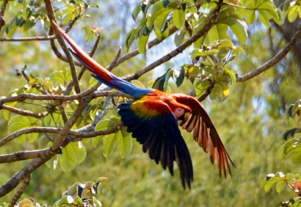 Genetic analysis of wild Scarlet Macaws from saliva they leave on fruits
