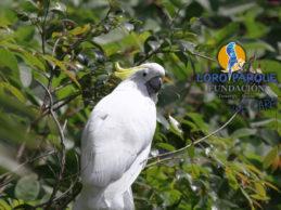 Breeding activity in parrots